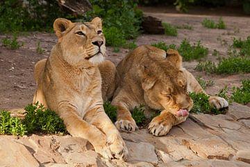 Twee slanke leeuwinnen op vakantie. De kat likt, de kat kijkt. Twee leeuwenvriendinnen zijn grote mo van Michael Semenov