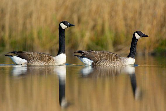 2 Canadese ganzen in spiegeling