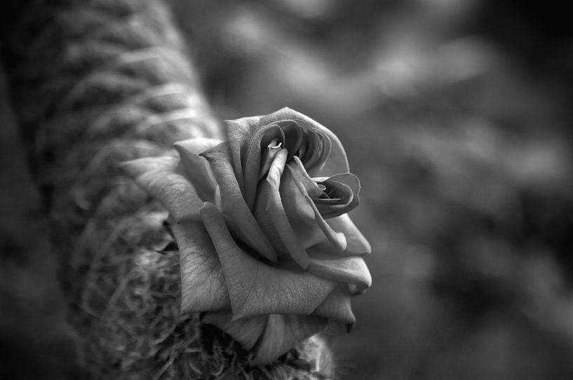 Roze in Black and White van Ben van Sambeek