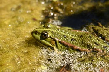 Kikker Frog von Patricia van Nes