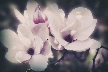 Magnolia bloesems van Christine Nöhmeier
