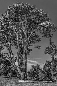 Een grove denneboom aan de Bretonse kust in zwart wit