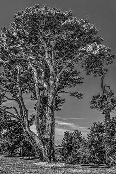 Een grove denneboom aan de Bretonse kust in zwart wit sur Harrie Muis