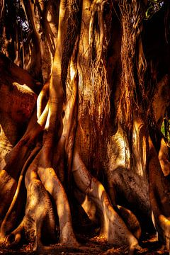Stam en wortels van de rubberboom ficus elastica van Dieter Walther