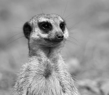 Portret Stokstaartje in zwart-wit van Marjolein van Middelkoop