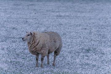 Winter op Texel schaap in de verse sneeuw