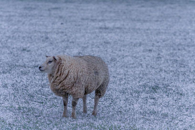 Winter op Texel schaap in de verse sneeuw van Texel360Fotografie Richard Heerschap