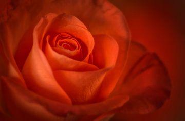 Rood/Oranje roos van