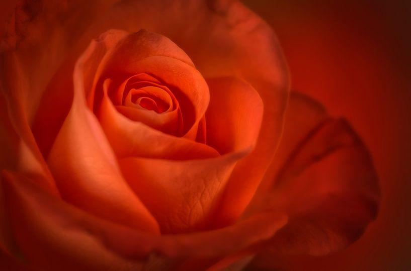 Rood/Oranje roos van Ellen Driesse