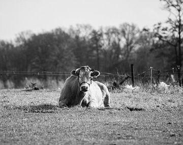 Portret Limousin Rund in Overijssel zwart/wit van M.D. Jonk-Kwantes