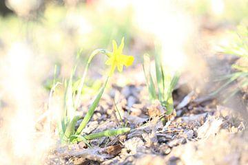 Narcis in het zonlicht van Hannelore