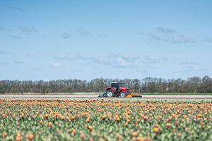 Tulpen op de boerderij van