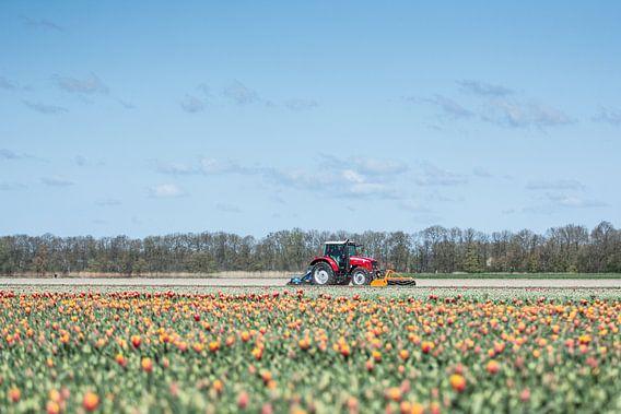 Tulpen op de boerderij van Marco Bakker
