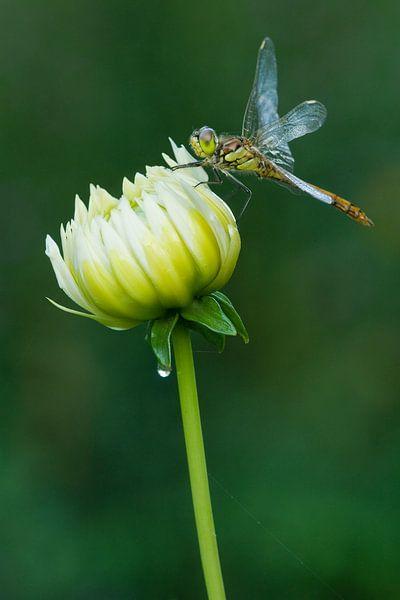 Ziegelroter Heidelibel auf Blume von Jeroen Stel