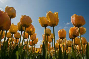 Gele tulpen van Simone Meijer