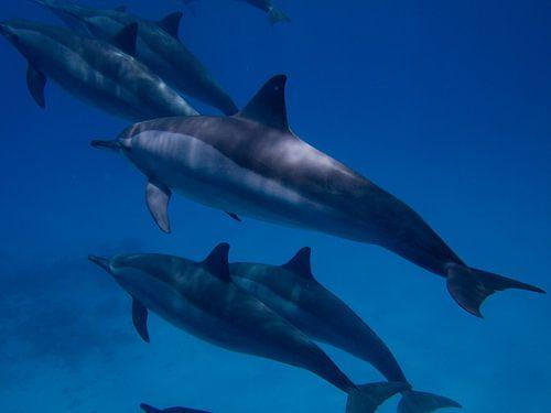 Dolphin von Michael Rust