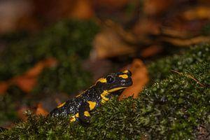 Salamandre de feu sur Sven Scraeyen