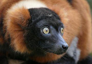 Der lemur von Carla van Zomeren