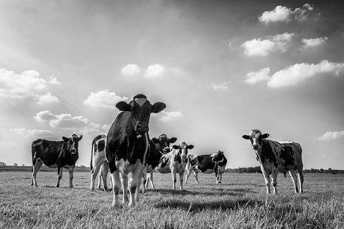 Groep koeien in een wei in zwart wit