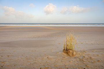Kluit riet op het strand van Johan Vanbockryck
