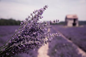 Lavendelveld van Tonny Visser-Vink