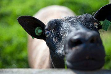 The black sheep sur