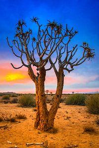 Kokerboom bij zonsopkomst in de Kalahari woestijn, Namibië