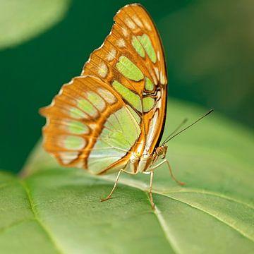 malachiet vlinder van gea strucks