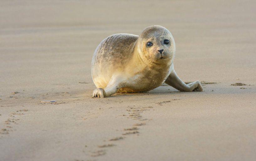 Verdrietige Gewone Zeehond van Remco Van Daalen