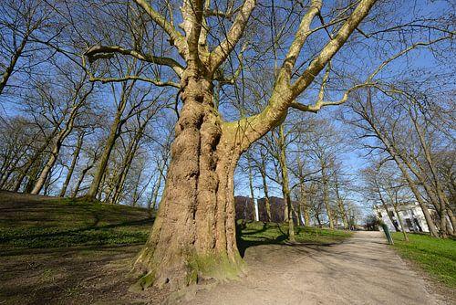 Plataan uit 1835 in het Zocherpark in Utrecht van