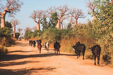 Zeboes en baobabs in Madagaskar van Expeditie Aardbol
