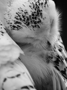 Fluffy - eine schläfrige Eule. von BHotography