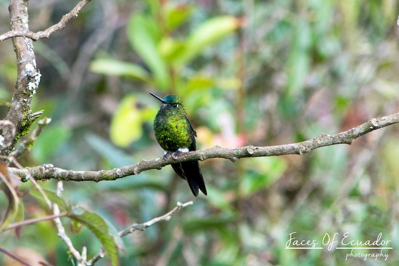 Colibri van Kevin Van Haesendonck