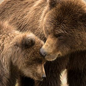 Alaska Bruine Beer (Ursus arctos gyas) van AGAMI Photo Agency