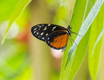 Zwarte vlinder met oranje/bruin en wit/gele vlekken op een groen takje van Esther van Lottum-Heringa