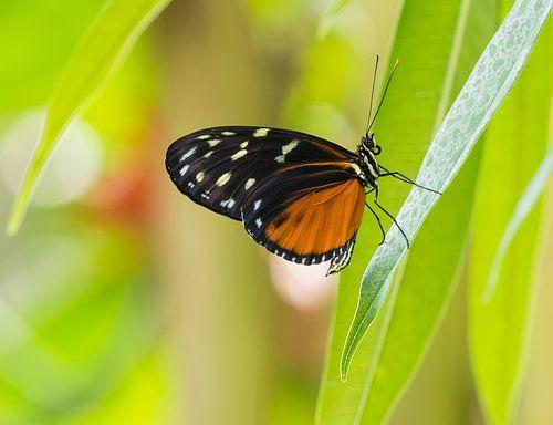 Zwarte vlinder met oranje/bruin en wit/gele vlekken op een groen takje