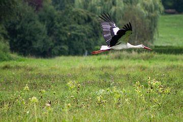 Storch im Flug von Renate Dohr