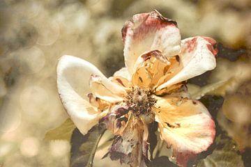 Laatste gloed - einde van een roos van Christine Nöhmeier