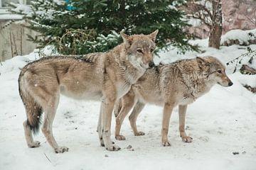 Een paar wolven mannetjes en vrouwtjes naast elkaar in de sneeuw, liefde in dieren. van Michael Semenov