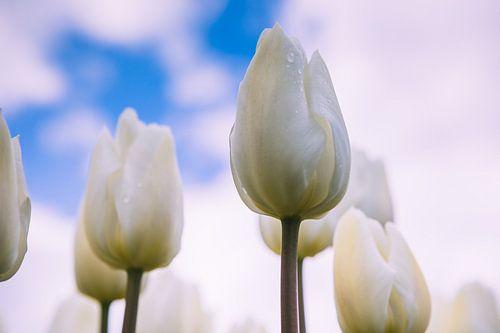 Tulpen von Evelien Stijf