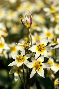 Tulpen von Sigrid Olschinski