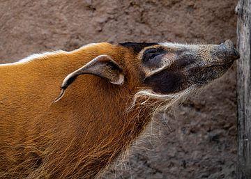 Pinselohrschwein von Van Keppel Studios