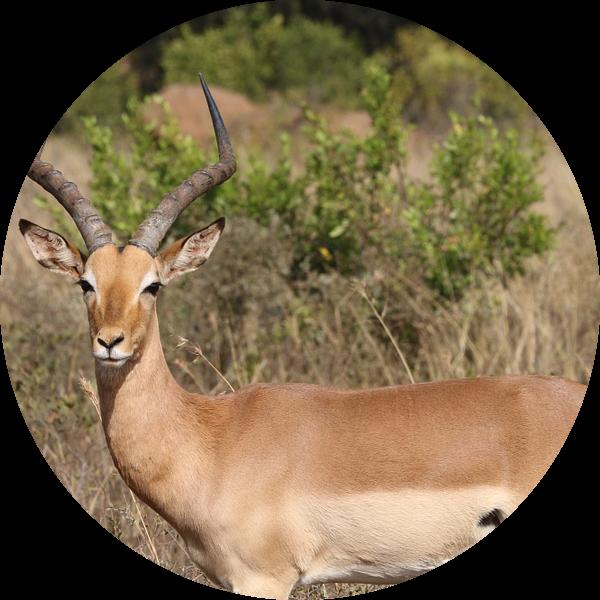 Impala Itala Park Zuid Afrika van Ralph van Leuveren