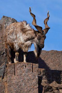 Bergziege mit Hörnern vor dem Hintergrund von Felsen und blauem Frühlingshimmel, ein mächtiges Tier  von Michael Semenov