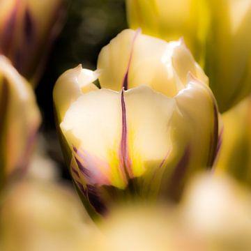 Gestreepte tulp in het zonnetje van Leontien van der Willik-de Jonge