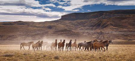 Wilde paarden in Patagonie