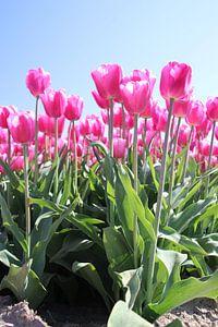 Veld vol met roze tulpen die oplichten in de zon van