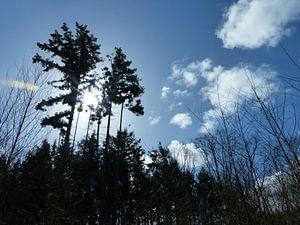 Hoge bomen vangen wind