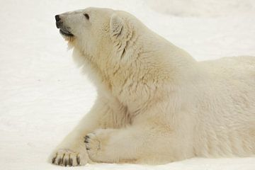 Portrait d'une bête polaire. Gros plan. Un ours polaire arctique beau et content en hiver contre la  sur Michael Semenov