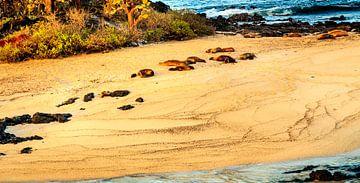 Zeeleeuwen op de Galapagos van René Holtslag